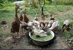 No tiene agua el pato para nadar e invita a la pata