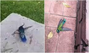 Fumigaron colibríes en Timiza