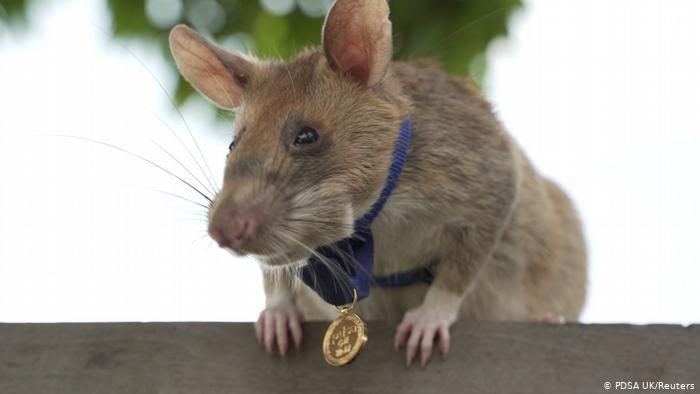 Medalla de oro para Magawa, premiada por detectar minas