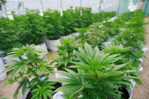 ONU, luz verde al cannabis medicinal no desafía legado colonial de prohibición